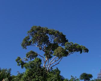 Boom in regenwoud van Suriname