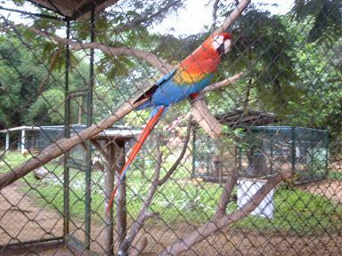 Ara in Paramaribo Zoo