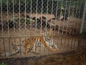 Tijger in Paramaribo Zoo