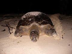 Een krape (soepschildpad).